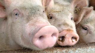 Ethik in der Ernährung, Schweine; Foto: dpa
