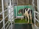 A calf enters a latrine CREDIT FBN