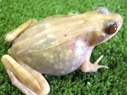 Transparenter Frosch, Japan