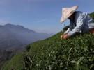 Bitterer Verlust bei Teeernte: Plantagenbesitzer auf Taiwan beklagen Folgen des Klimawandels (Vorschaubild)