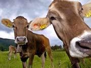 Bizarre Fragen bei Auswahltests britischer Unis: Wie viel Prozent Wasser der Welt passen in eine Kuh?