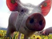Schwein, ap