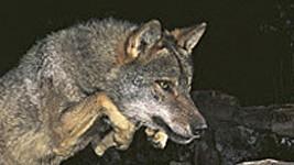Wolf, Rodríguez