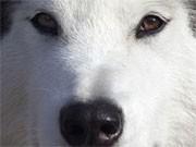 Auf Hundeschlitten in Norwegen. Foto: AP