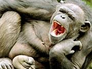 Schimpanse; AP