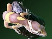 Gecko, Kleber, Klebstoff, Muschel, Haftpflaster, Nanotechnologie