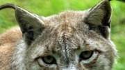 Wo die wilden Tiere wohnen: Biber, Luchse, Wisente: Die Wiederansiedelung ausgestorbener Arten in Deutschland ist oft zu wenig durchdacht.