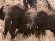 Elefanten hören mit Füßen Caitlin O'Connell-Rodwell