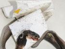 """Giftiger """"Wurm mit Zunge"""" (Bild)"""