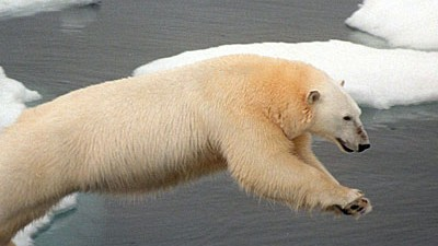 Eisbären Eisbär auf Island erschossen