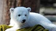 Knut, der kleine Eisbär