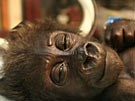 Gorilla-Baby: Unterkühlt und unterernährt (Bild)