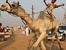 Flitzende Kamele (Bild)