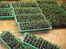 Mehr als 1300 Cannabis-Pflanzen entdeckt (Bild)
