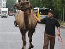 Kamele im Berufsverkehr (Bild)