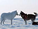 Wo der Wolf den Husky küsst (Bild)