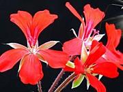 Pelargonium, ap