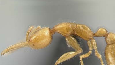 Neue Ameisenart entdeckt