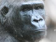Gorilla, dpa