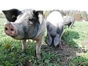 Schwein; Hermannsdorfer Landwerkstätten; Pfauth