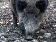Wildschweine dringen bis in die bayerischen Städte vor. Foto: ddp