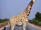Giraffe im Niger, Reuters
