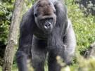 Ausgebrochener Gorilla verletzt vier Zoobesucher (Bild)