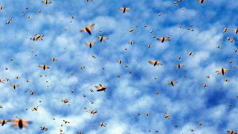 ein fliegender Heurschreckenschwarm