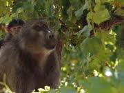 Afrika Südafrika Affen Pavian Weinberg Weinlese Winzer, apn