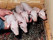geklonte Schweine, dpa