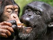 Schimpansen, ddp