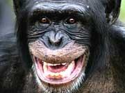 Schimpansen Empathie
