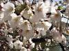 Blüten der Schande (Bild)