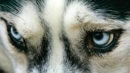 Husky Hunde Angriff Attacke Getty Images