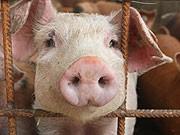 dpa, Schwein, Monsanto, Schnitzel, greenpeacedpa, Schwein, Monsanto, Schnitzel, greenpeace