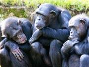 Schimpansen Tod Trauer Trost AFP