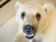 Eisbär Grizzly Pizzly Grolar-Bär Mischung Arktis Kanada AP