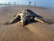 Schildkröte, AFP