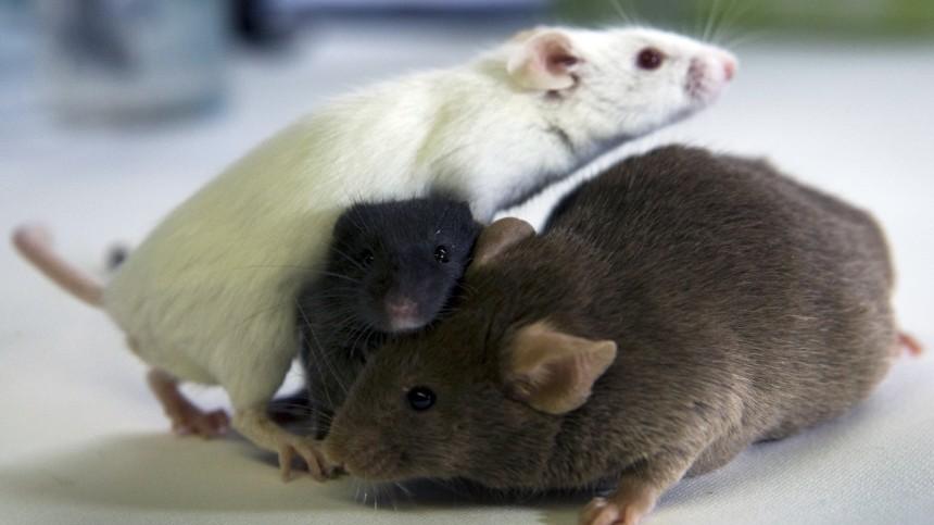 Mausforschung zu proteinreicher Ernährung