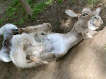 Esel wälzt sich auf Boden