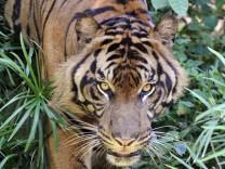 Tiger, AFP