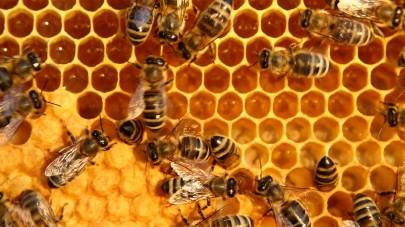 Biene, Bienen, Honig, Waben