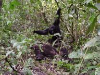 Krieg der Schimpansen