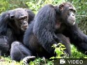 schimpansen; VIdeoflag