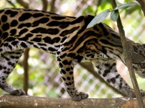 A Margay is seen at the Las Pumas Rescue Shelter in Canas