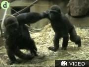 Gorillas Gorillas spielen Fangen; Videoflag