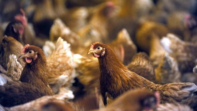 Protest gegen Hähnchenschlachterei