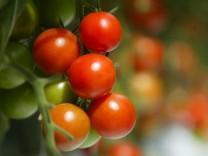 Themendienst Wohnen: Tomaten sind anspruchsvoll
