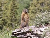 Murmeltiere profitieren vom Klimawandel