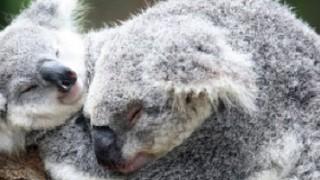 Koalas 536x200